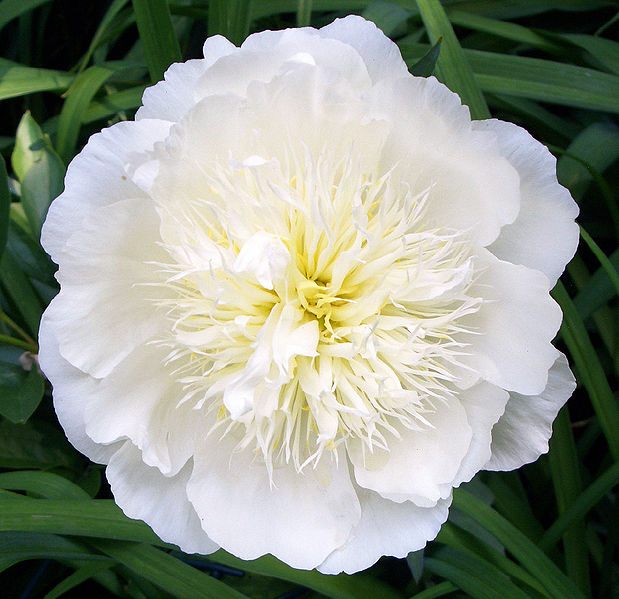 White Peony Root Against Inflammation