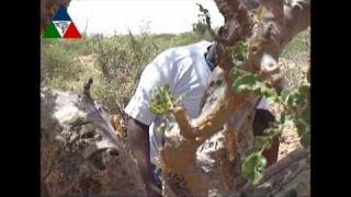 Somali Gums & Essential Oils